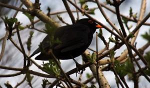 blackbirdC7DL2106