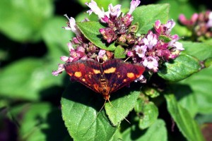 Pyrausta-purpuralisDSCN5300