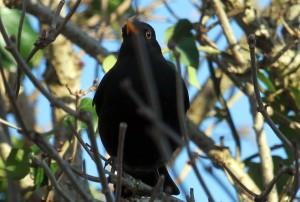 blackbirdC7DL2898