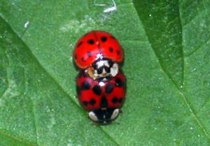 ladybirdsDSCN6486