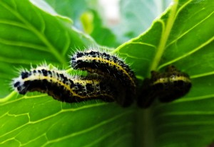 caterpillarsIMG_20200614