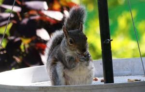 squirrelC7DL3676